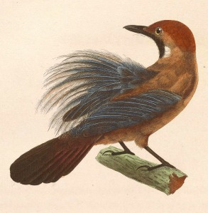 Macronous_ptilosus_1838_cr
