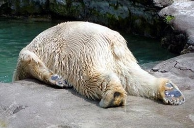 depressed-polar-bear